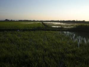 Daños producidos en el arrozal por la presencia de calamones